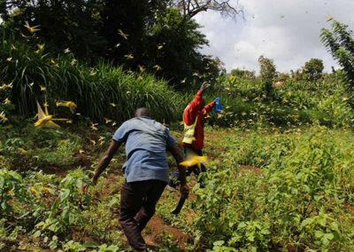 locust_invasion_food_security_kenya